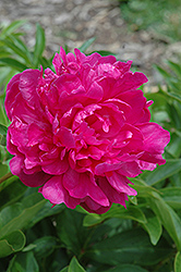 Rubra Superba Peony (Paeonia 'Rubra Superba') at Squak Mountain Nursery