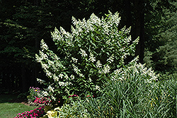 Tardiva Hydrangea (tree form) (Hydrangea paniculata 'Tardiva (tree form)') at Squak Mountain Nursery