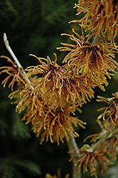 Jelena Witchhazel (Hamamelis x intermedia 'Jelena') at Squak Mountain Nursery