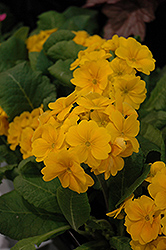 Supernova Golden Yellow Primrose (Primula 'Supernova Golden Yellow') at Squak Mountain Nursery