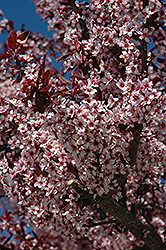 Thundercloud Plum (Prunus cerasifera 'Thundercloud') at Squak Mountain Nursery