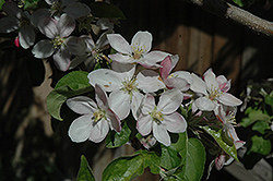 Jonathan Apple (Malus 'Jonathan') at Squak Mountain Nursery