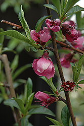 Frost Peach (Prunus persica 'Frost') at Squak Mountain Nursery