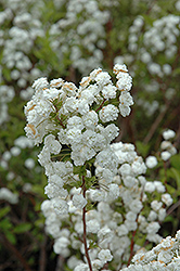 Bridalwreath Spirea (Spiraea prunifolia) at Squak Mountain Nursery