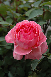 Liv Tyler Rose (Rosa 'Meibacus') at Squak Mountain Nursery