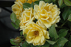 Yellow Sunblaze® Rose (Rosa 'Meiskaille') at Squak Mountain Nursery