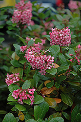 Newport Dwarf Escallonia (Escallonia 'Newport Dwarf') at Squak Mountain Nursery