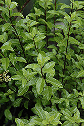 Kohuhu (Pittosporum tenuifolium) at Squak Mountain Nursery