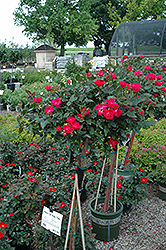 Knock Out® Rose Tree (Rosa 'Radrazz') at Squak Mountain Nursery