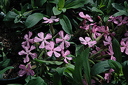 Max Frei Soapwort (Saponaria lempergii 'Max Frei') at Squak Mountain Nursery