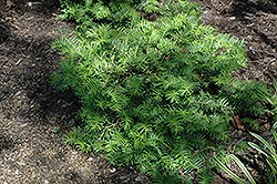 Prostrate Japanese Plum Yew (Cephalotaxus harringtonia 'Prostrata') at Squak Mountain Nursery
