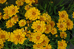 Jethro Tull Tickseed (Coreopsis 'Jethro Tull') at Squak Mountain Nursery