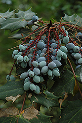 Oregon Grape (Mahonia aquifolium) at Squak Mountain Nursery