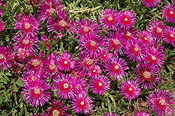 Purple Ice Plant (Delosperma cooperi) at Squak Mountain Nursery