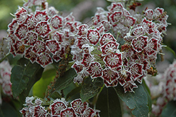 Bullseye Mountain Laurel (Kalmia latifolia 'Bullseye') at Squak Mountain Nursery