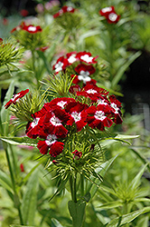 Diadem Sweet William (Dianthus barbatus 'Diadem') at Squak Mountain Nursery