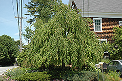 Weeping Katsura Tree (Cercidiphyllum japonicum 'Pendulum') at Squak Mountain Nursery