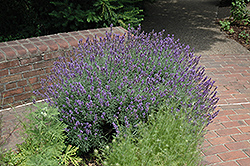 English Lavender (Lavandula angustifolia) at Squak Mountain Nursery