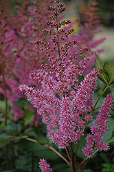 Maggie Daley Astilbe (Astilbe chinensis 'Maggie Daley') at Squak Mountain Nursery