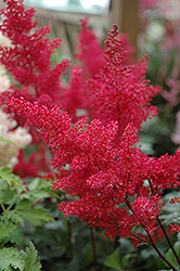 Montgomery Japanese Astilbe (Astilbe japonica 'Montgomery') at Squak Mountain Nursery