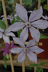 Moonfleet Clematis (Clematis 'Evipo046') at Squak Mountain Nursery