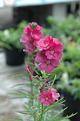 Brilliant Prairie Mallow (Sidalcea 'Brilliant') at Squak Mountain Nursery