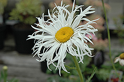 Aglaia Shasta Daisy (Leucanthemum x superbum 'Aglaia') at Squak Mountain Nursery