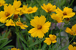 Baby Sun Tickseed (Coreopsis lanceolata 'Sonnenkind') at Squak Mountain Nursery