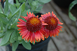 Arizona Red Shades Blanket Flower (Gaillardia x grandiflora 'Arizona Red Shades') at Squak Mountain Nursery