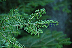 Balsam Fir (Abies balsamea) at Squak Mountain Nursery