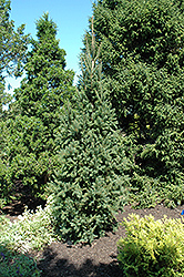 Columnar Norway Spruce (Picea abies 'Cupressina') at Squak Mountain Nursery