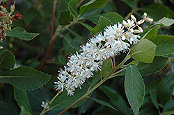 Vanilla Spice® Summersweet (Clethra alnifolia 'Caleb') at Squak Mountain Nursery