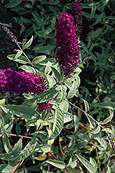 Harlequin Butterfly Bush (Buddleia davidii 'Harlequin') at Squak Mountain Nursery