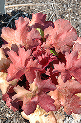 Cherry Cola Coral Bells (Heuchera 'Cherry Cola') at Squak Mountain Nursery