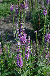 Atomic Lilac Speedwell (Veronica 'Atomic Lilac') at Squak Mountain Nursery