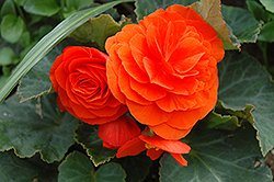 Nonstop® Golden Orange Begonia (Begonia 'Nonstop Golden Orange') at Squak Mountain Nursery