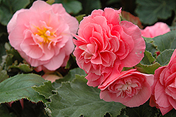 Nonstop® Pink Begonia (Begonia 'Nonstop Pink') at Squak Mountain Nursery
