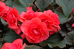 Solenia® Dark Pink Begonia (Begonia 'Solenia Dark Pink') at Squak Mountain Nursery