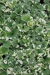 Variegated Ground Ivy (Glechoma hederacea 'Variegata') at Squak Mountain Nursery