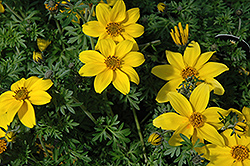 Yellow Charm Bidens (Bidens ferulifolia 'Yellow Charm') at Squak Mountain Nursery