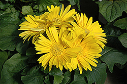 Yellow Gerbera Daisy (Gerbera 'Yellow') at Squak Mountain Nursery