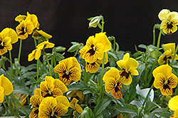 Angel Tiger Eye Pansy (Viola 'Angel Tiger Eye') at Squak Mountain Nursery