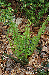 Deer Fern (Blechnum spicant) at Squak Mountain Nursery