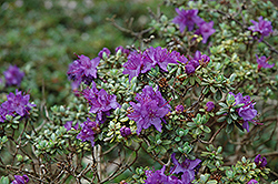Dwarf Purple Rhododendron (Rhododendron impeditum) at Squak Mountain Nursery