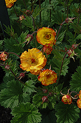 Mango Lassi Avens (Geum 'Mango Lassi') at Squak Mountain Nursery