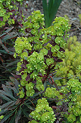 Purple Wood Spurge (Euphorbia amygdaloides 'Purpurea') at Squak Mountain Nursery