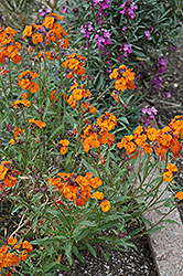 Apricot Twist Wallflower (Erysimum 'Apricot Twist') at Squak Mountain Nursery