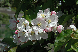 Jonagold Apple (Malus 'Jonagold') at Squak Mountain Nursery