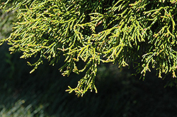 Coralliformis Dwarf Hinoki Falsecypress (Chamaecyparis obtusa 'Coralliformis') at Squak Mountain Nursery
