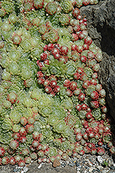 Pekinese Hens And Chicks (Sempervivum 'Pekinese') at Squak Mountain Nursery